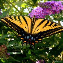 Arizona Butterfly and Moth Update--November, 2013 | GarryRogers Biosphere News | Scoop.it