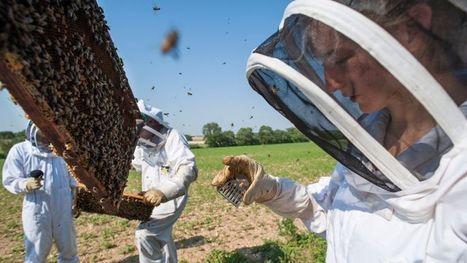 Les abeilles sous haute surveillance - Le Figaro | Abeilles, intoxications et informations | Scoop.it