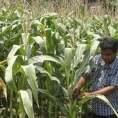 Bangladesh: Maize farmers eye bumper yield in Lalmonirhat | MAIZE | Scoop.it