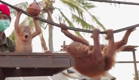 She Just Saw Another Baby Orangutan For The Very First Time   Nature Animals humankind   Scoop.it