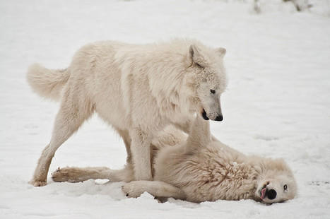 White Wolf: Study says wolves play a role in saving other species | A Sense of the Ridiculous | Scoop.it