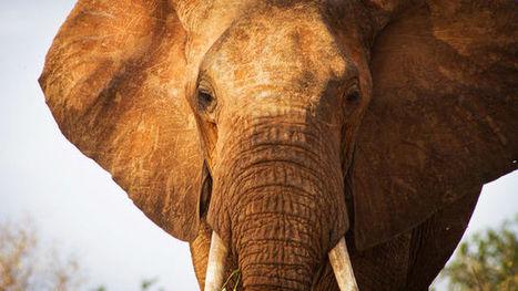 Près d'une centaine d'éléphants massacrés en une nuit | T4 - Citoyenneté, liberté, solidarité | Scoop.it