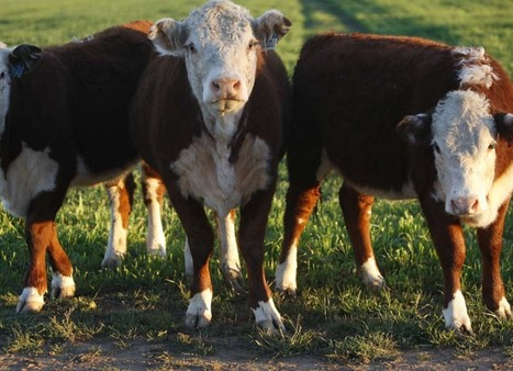 Some say cows are killing the earth. So do we need to ban beef? | Food issues | Scoop.it