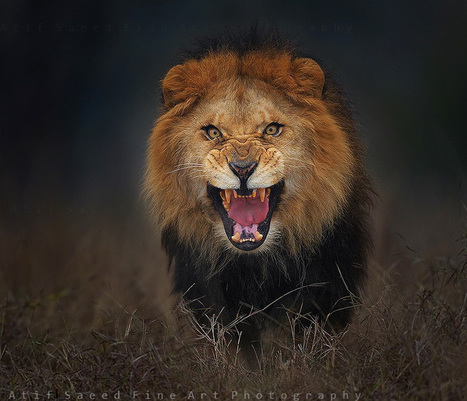 Photographer Shoots Angry Lion Photo Moments Before It Jumped At Him To Attack | Art, Photography, etc | Scoop.it