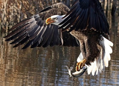 Arizona's bald eagles set a new population record this year | Advocating for Wildlife | Scoop.it