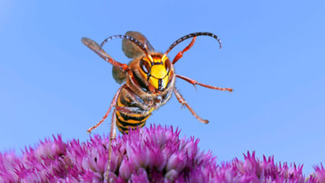 18 killed in deadly hornet attacks in Chinese city | Strange days indeed... | Scoop.it