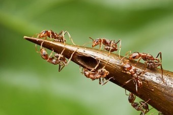Trees Trap Ants Into Sweet Servitude | All About Ants | Scoop.it