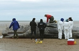 Whale CSI: why sperm whales are washing up dead on British shores | Farming, Forests, Water, Fishing and Environment | Scoop.it