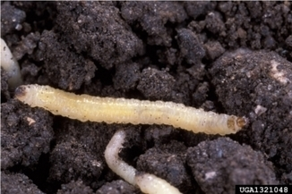 Karma? Rootworm Damaging Ineffective GMO Corn | MN News Hound | Scoop.it