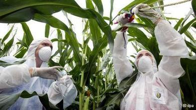 Five fears about GM corn | Sci-Tech | DW.DE | 14.04.2014 | GMO GM Articles Research Links | Scoop.it