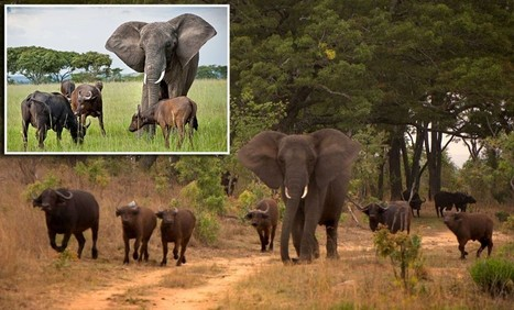 Elephant suffers identity confusion, joins buffalo herd | Wildlife Trafficking: Who Does it? Allows it? | Scoop.it