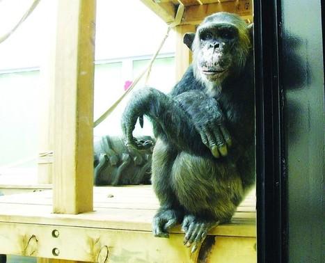 Los chimpancés dicen mentiras y hacen poemas con lenguaje de signos | Traducción, Idiomas y Comunicación | Scoop.it