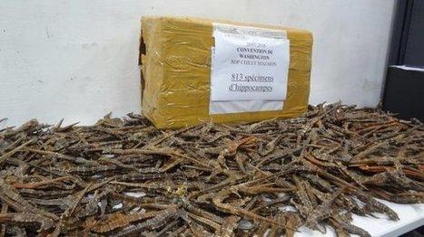 Des milliers d'hippocampes morts saisis dans des colis postaux, dans l'Essonne | Zones humides - Ramsar - Océans | Scoop.it
