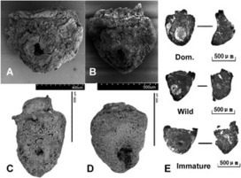 PLOS ONE: From Early Domesticated Rice of the Middle Yangtze Basin to Millet, Rice and Wheat Agriculture: Archaeobotanical Macro-Remains from Baligang, Nanyang Basin, Central China (6700–500 BC) | Archaeobotany and Domestication | Scoop.it