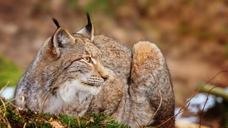 Trot Grass Lie Predator Big Cat Download Image #4269 Wallpaper | animaljetz.com | Animal Wallpaper | Scoop.it