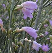 Esperance Wildflowers: Eremophila scoparia - Broom Bush   Australian Plants on the Web   Scoop.it