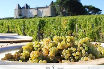 Bordeaux 2013: Estates upbeat as whites, Sauternes harvest begins | Wine Geographic | Scoop.it