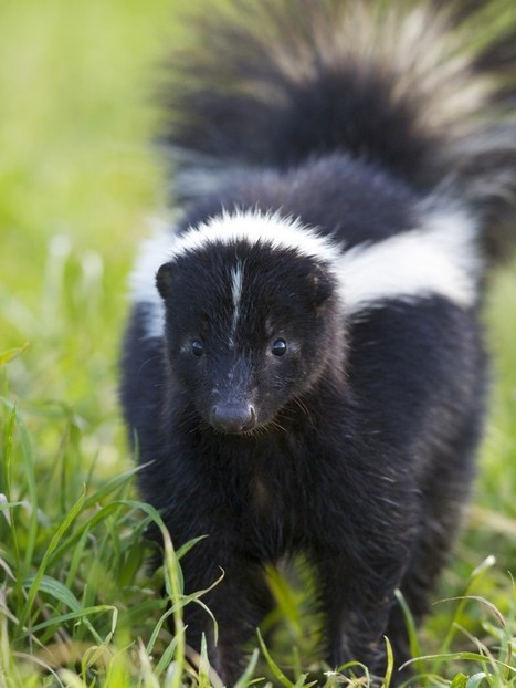 That Skunk Doesn't Want to Spray You (or Your Dog!) | WildCare | Our Evolving Earth | Scoop.it