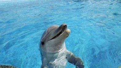 Longest animal #memory 'in #Dolphins' ~ Can recall a whistle after 20 yrs* ~ incredibubble oO ~ ~~   Rescue our Ocean's & it's species from Man's Pollution!   Scoop.it