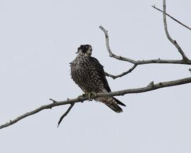 The Nomadic Naturalist: Lunchtime birding | Birds | Scoop.it