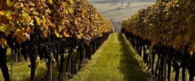 Des vignes malades d'un pesticide? Si tout va bien, vous n'en saurez rien - Rue89 - L'Obs | ecology and economic | Scoop.it