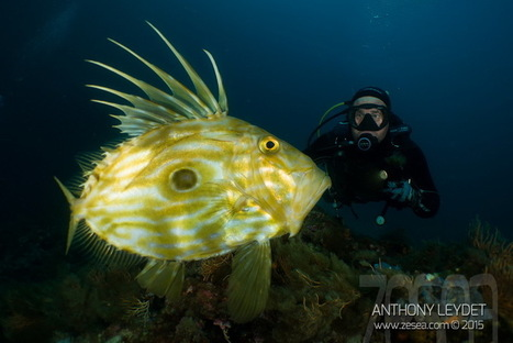 INSTAQUATIC #03: Saint-Pierre... le plus beau poisson de Méditerranée ? - Le Blog de la Plongée Bio | Biologie marine | Scoop.it