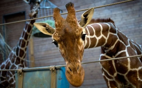 Second giraffe facing death in Danish zoo spared - Telegraph.co.uk | zoos should not exist | Scoop.it