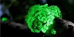 Des plantes bioluminescentes pour éclairer les villes   Efficycle   Scoop.it