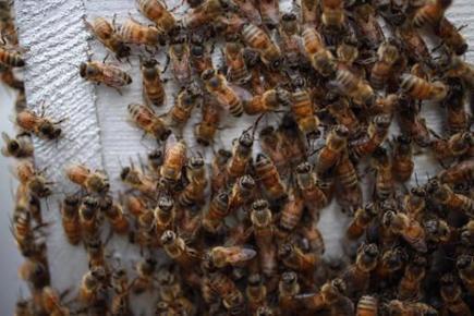Deux ruches installées sur un toit à Bruxelles: les abeilles produisent plus de miel en ville | ALTERAPI | Scoop.it