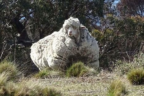 'Wool world record': 40kg from overgrown sheep | कृषी व्हिजन | Scoop.it