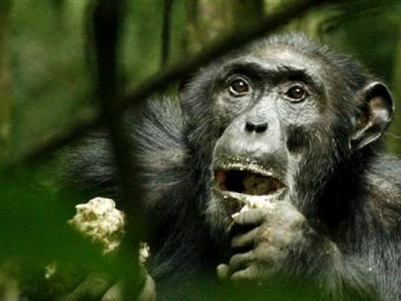 Egypt remains a hot spot for illegal chimp and ivory trade | Égypt-actus | Scoop.it