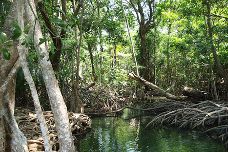 Mangrove Importance in Belize: Biodiversity and Protection | Belize in Social Media | Scoop.it