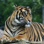 Scientists confirm Alan Turing's 60-year-old theory for why tigers have stripes | Bioslogos | Scoop.it