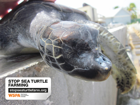 Stop Sea Turtle Farming | OUR OCEANS NEED US | Scoop.it