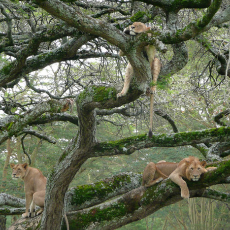 Lions don't normally climb trees, but the rare sight of... | Sight For Sore Eyes | Scoop.it