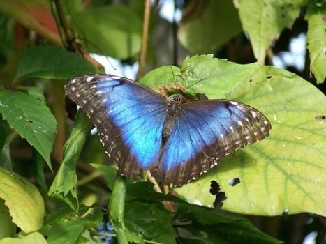 bleu - Photos de papillons exotiques : Morpho peleides - Morpho bleu - Morpho helenor peleides - Peleides Blue Morpho - Papillon bleu   Fauna Free Pics - Public Domain - Photos gratuites d'animaux   Scoop.it