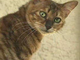 Toyger, relatively new hybrid cat being sold by breeders - WPTV | Cats Rule the World | Scoop.it
