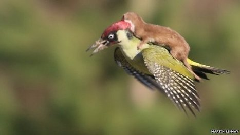 'How I snapped weasel on bird photo' | Communities of the World | Scoop.it