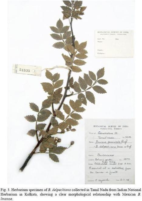 Acta botánica mexicana - Las raíces mexicanas de la lavanda de la India | Lavanda ( Lavandula officinalis). | Scoop.it