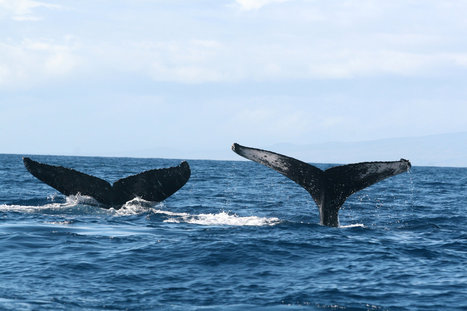 Humpback Whales Use Size as Measure for Mating | All about water, the oceans, environmental issues | Scoop.it