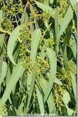 L'huile essentielle du jour : l'eucalyptus radié pour les tout petits | Huiles essentielles HE | Scoop.it