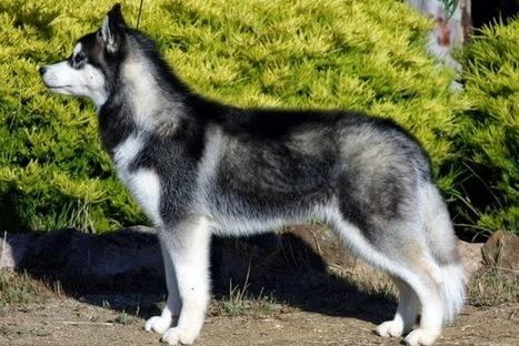 Làm sao để nuôi chó husky khoẻ mạnh - Thức ăn cho thú cưng | nanapet | Scoop.it