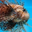 The colorful lionfish and 3 other invasive species we should be ... | Invasive Species | Scoop.it
