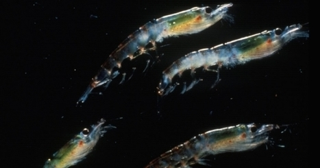 Climate Change Could Put Krill at Big Risk | Amazing Science | Scoop.it