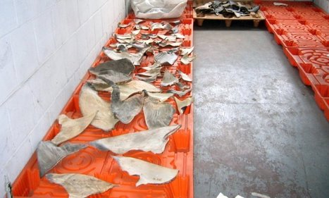 Shark finning law goes into effect | All about water, the oceans, environmental issues | Scoop.it
