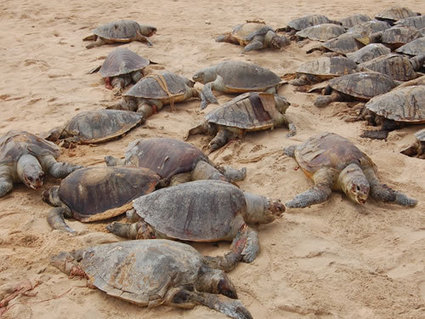 Tragic Stranding of over 800 dead Olive Ridley Sea Turtles in One Night | State of Nature | Scoop.it
