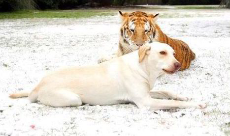 Dog and his tiger pals are best of friends as they frolic in the snow ... | arcadeensure | Scoop.it