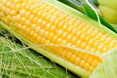 Etude sur les OGM: L'EFSA délivrera son analyse préliminaire | Abeilles, intoxications et informations | Scoop.it