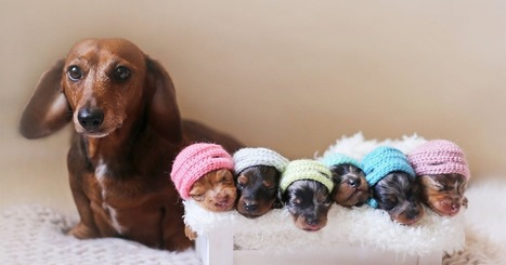 Proud Sausage Dog Poses With Her 6 Tiny Sausages For Maternity Photoshoot | Caring About Pets | Scoop.it