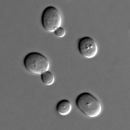 Researchers modify yeast to show how plants respond to a key hormone | DNA and RNA Research | Scoop.it